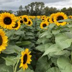 Sunflower Picking at Holland Ridge Farms