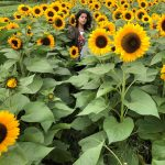 Sunflower Picking at Holland