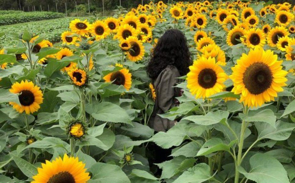 Sunflower Picking at Holland Ridge Farms
