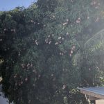 a mango tree